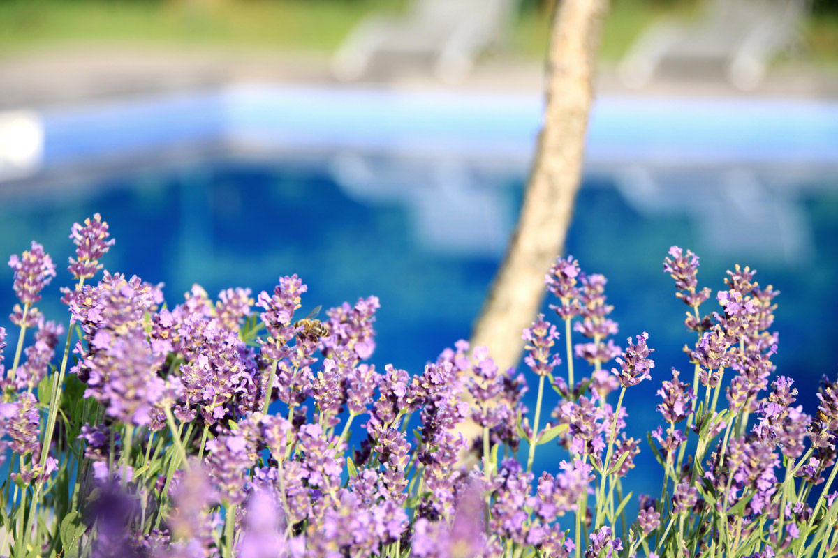 Lavender and other insect-repelling plants help make for an inviting pool Kelowna homeowners will enjoy.